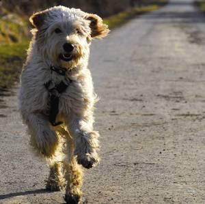 Labrador als allergie hund